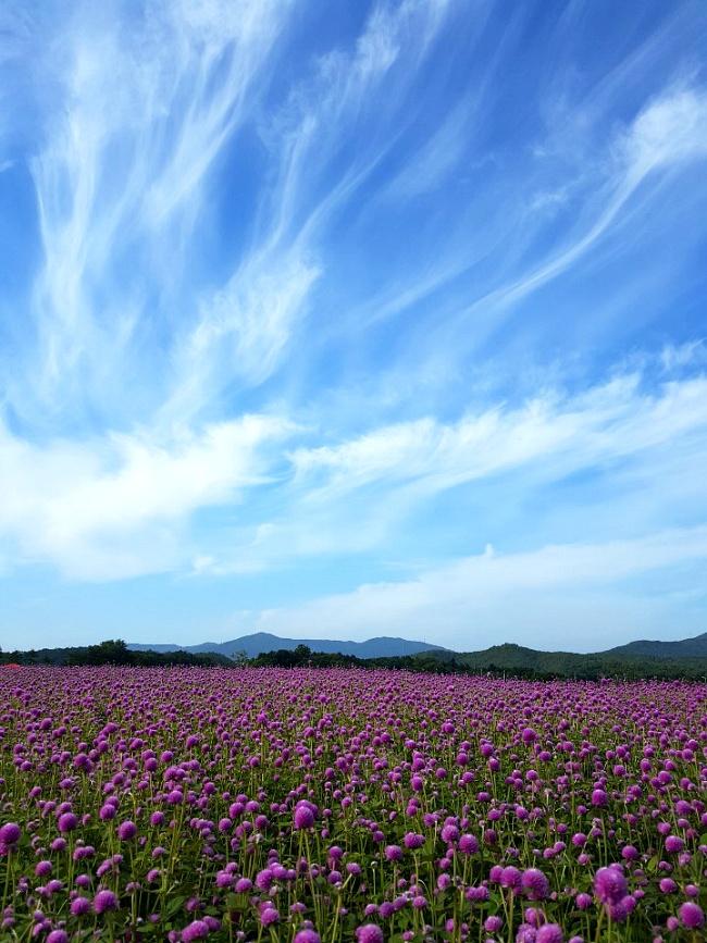천일홍 축제에서 (양주 나리공원)